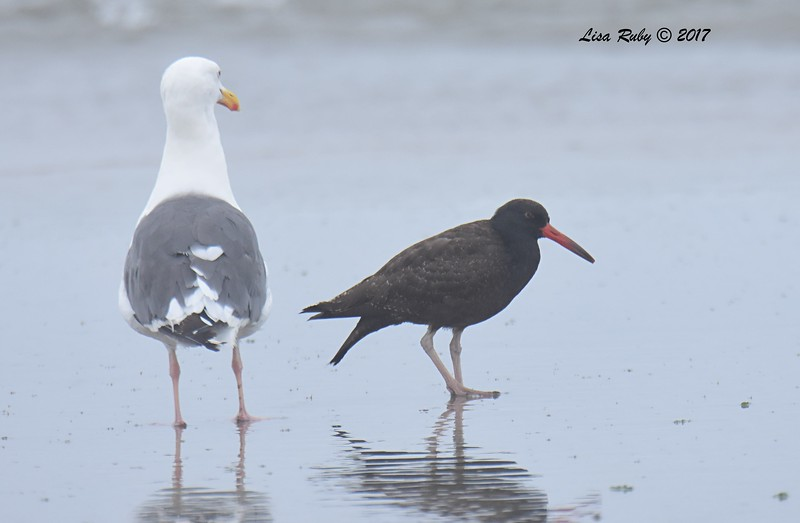 Western Gull and Black Oystercatcher  - 8/27/2017 - Imperial Beach near YMCA Surf Camp