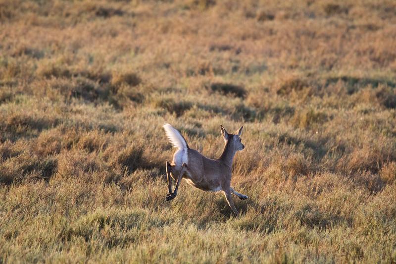 White-tailed Deer Aransas TX 2020-1.jpg
