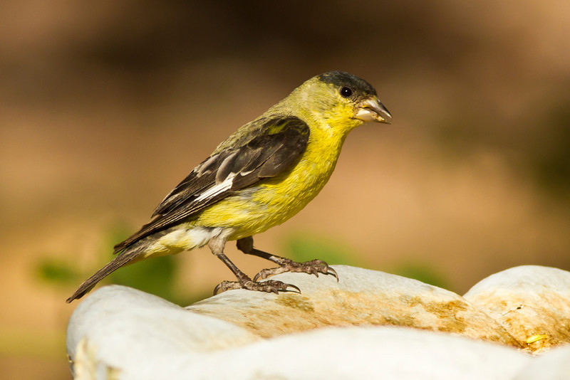 Lesser Goldfinch (Green-Backed, Male)