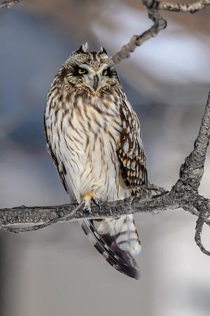 3-4-19 Short-eared Owls