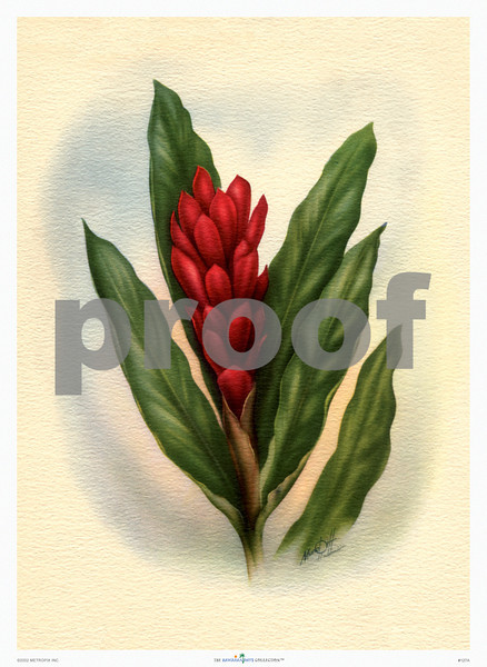 127: 'Torch Ginger' by Ted Mundorff. Floral Hawaiian Art Print, ca 1940-1950. (PROOF watermark will not appear on your print)