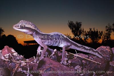 Australian Lizards Diplodactylidae (Pad-toe Geckos)