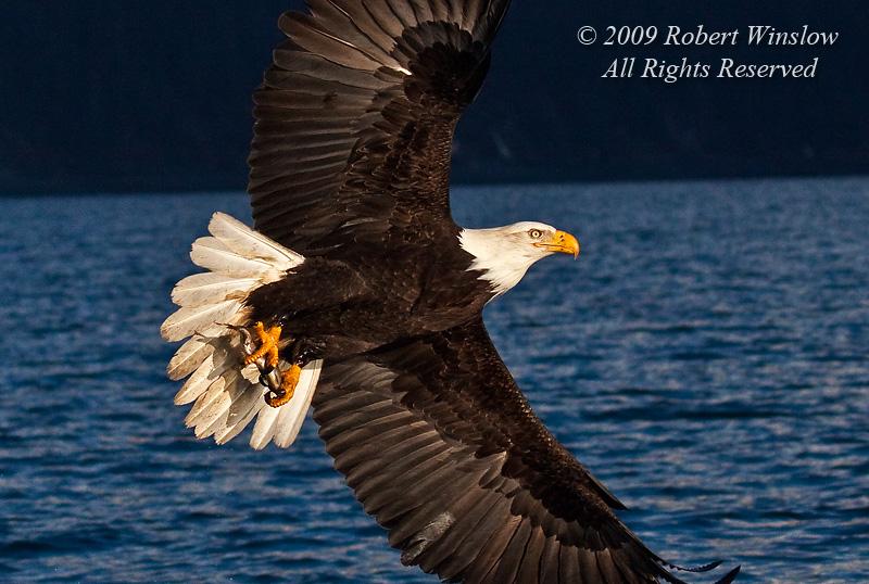 Bald Eagle, Haliaeetus leucocephalus, Flying with a Fish in its Talons, Kenai Peninsula, Alaska