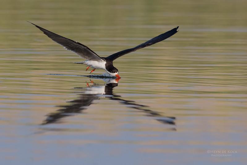 African Skimmer, Chobe River, NAM, Oct 2016-10.jpg
