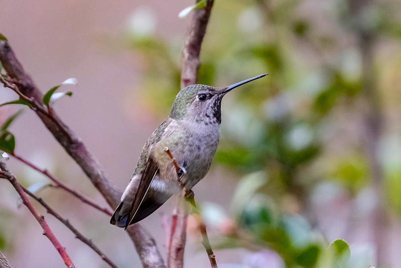 Anna's Hummingbird in Seattle, WA