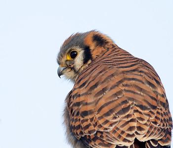 American Kestrel / Sparrow Hawk