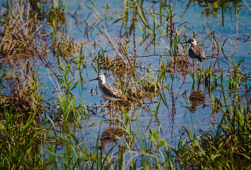 5.8.17 - Beaver Lake Fish Nursery: Lesser Yellowlegs
