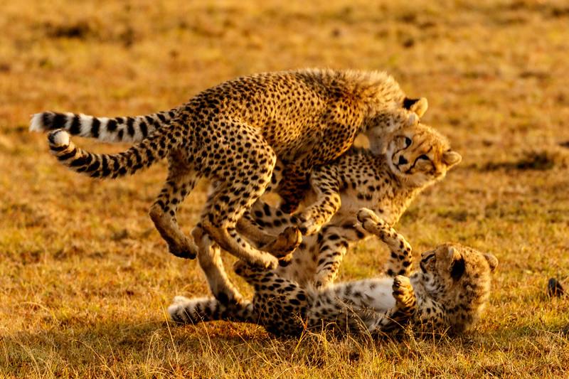 Cheetah Play