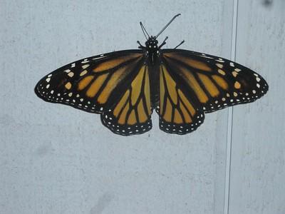 Big Island Monarch