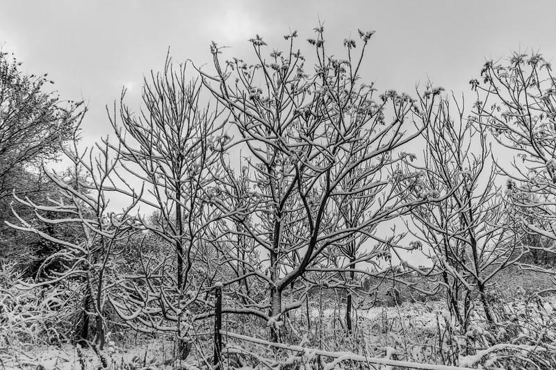 Snow-branches.jpg