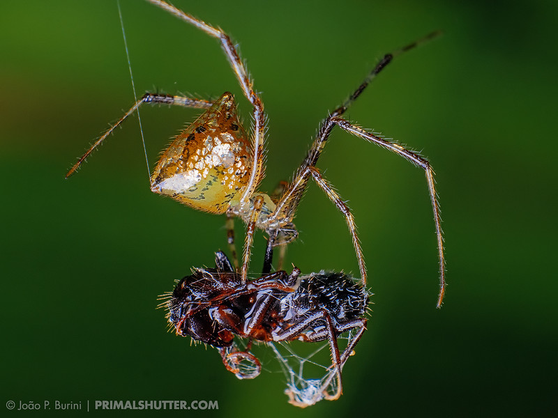 Thwaitesia mirror spider capturing it's prey