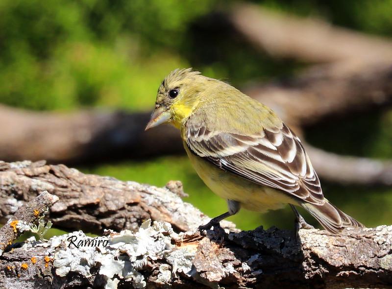 Female Lesser Goldfinch IMG_0132.jpg