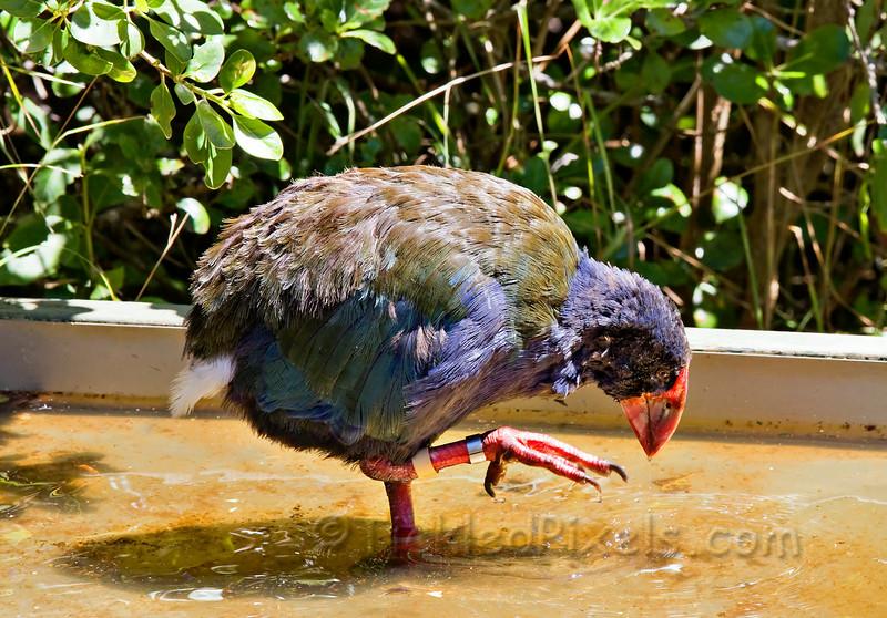 Greg takes a Bath - Takahe