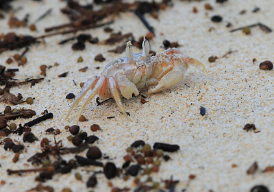Sally Lightfoot and Ghost Crab