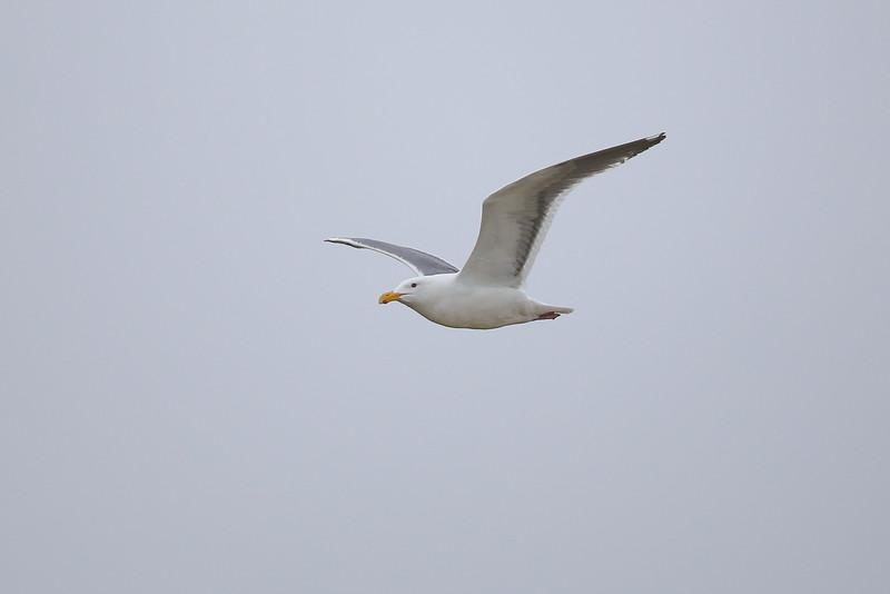 Glaucous-winged Gull? (Larus glaucescens)
