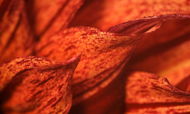 Red, red glow - dahlia field