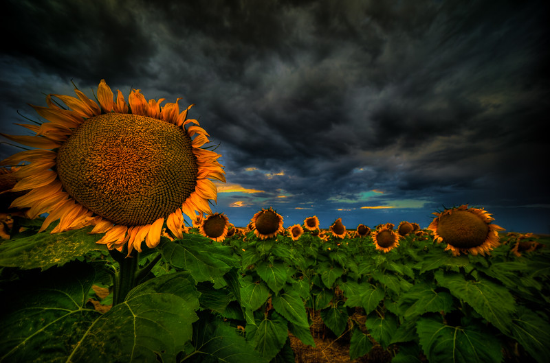 The Sunflower in the Storm