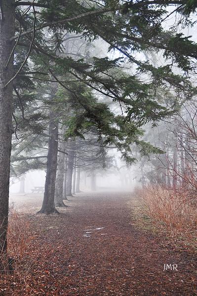fog pine trees .jpg