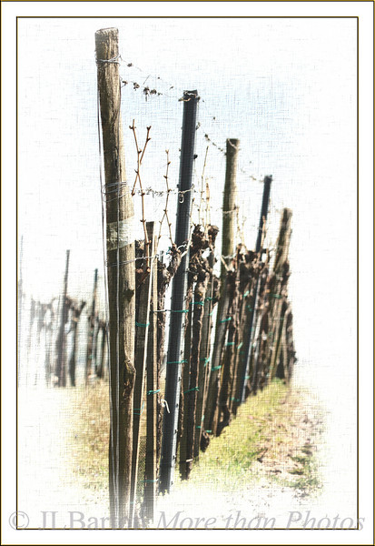 Spring vinyards when the vines have sap and are just beginning to grow. Here in the region of Neusiedl Lake.