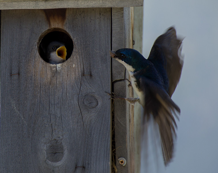 110.Mary Martindale.1.Tree Swallow and Baby.jpg