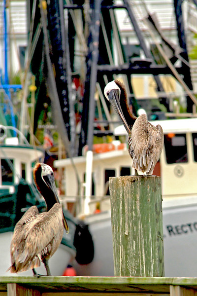 Pelicans on Shem Creek