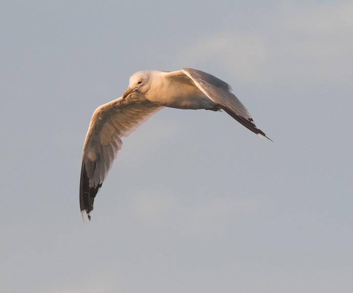 Caiffornia Gull Crowley Lake 2020 08 18-1.CR2