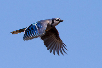 Jays, Crows and their Allies