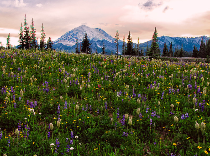 02 Aug 13.  I'll start sharing the trip to Mt Rainier with this shot taken near the end of the day. This was captured around 2000 and will give you an idea as to how the wild flowers were displaying. You are viewing Mt Rainier looking westerly at its eastern side from the southeastern end of the lake. You should be able to pick out at least 5 distinct species in this grouping, and the density you see was typical of the entire area around Tipsoo Lake. The clouds in this setting were moving to the right and were to become quite dramatic shortly thereafter as the sun began to sink beneath the horizon lighting them such that they put on quite a display of color in the red spectrum. We were lucky in that the mosquitoes were not very bad, and our use of insect repellent kept them completely away, a nice change from some of my previous trips. The entire area surrounding the lake was carpeted in flowers such as you see here, although different species inhabited different areas of the landscape. As the light levels were falling fast, this was taken in fairly dim light and doesn't have as much contrast as you might get during mid day. I considered modifying the image to give it such a look, but decided to leave it more like what we were seeing at the time.  Nikon D300s; 18 - 200; Aperture Priority; ISO 200; 1/13 sec @ f /14 on a tripod.
