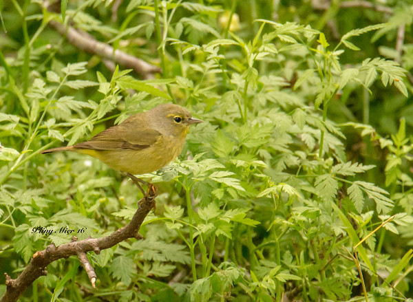 Orange-crowned Warbler_DWL4527.jpg