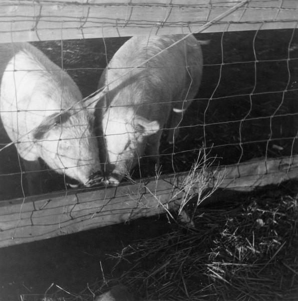 AR074.  Lako – Burgum feeders – pigs.jpg