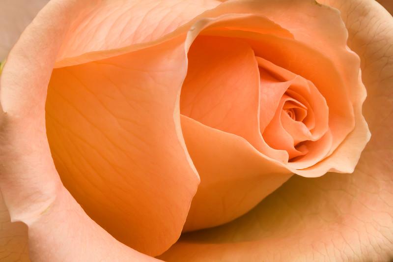 097-Orange Rose.JPG