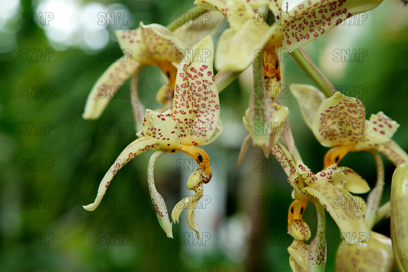 (Stanhopea Penelope), was on exhibit at the White River Gardens in Indianapolis, IN.  The orchids were part of the Wheeler Orchid Collection at Ball State University in Muncie, IN.
