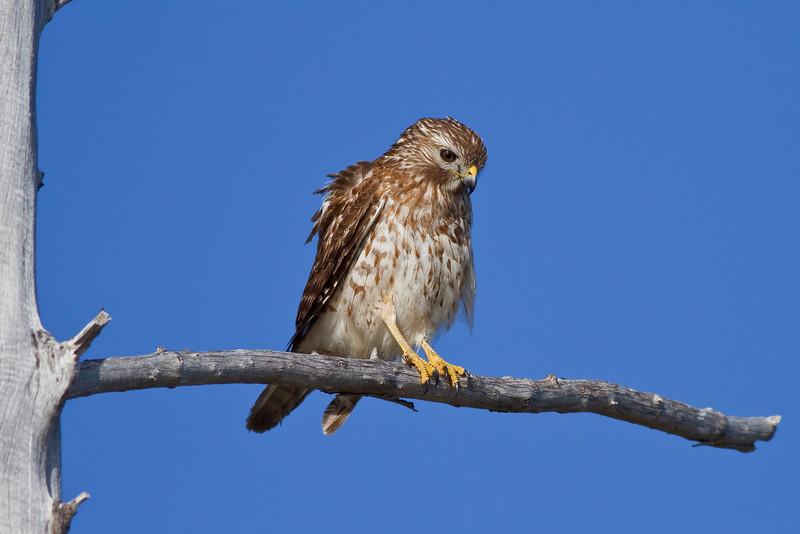 Red-shouldered Hawk resting at Lover's Key SP