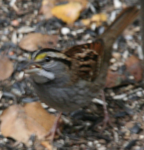 2006-11-26 White Throated Sparrow - my yard