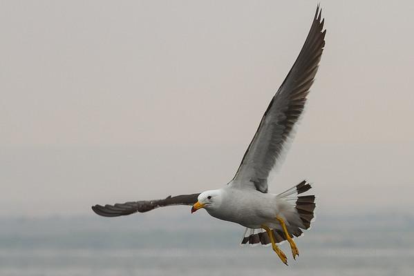 Band-tailed Gull, Gaviota Peruana (Larus belcheri)