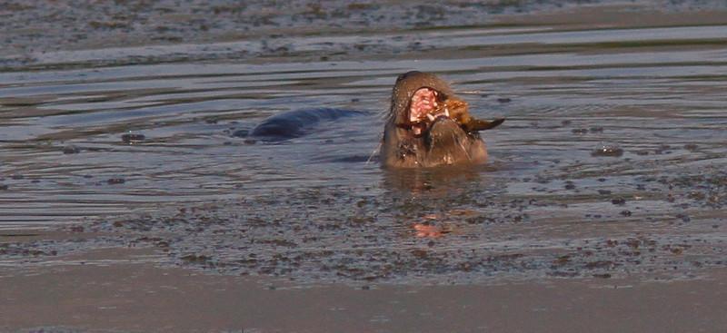 WB~Ottercrayfishopenmouth1600.jpg