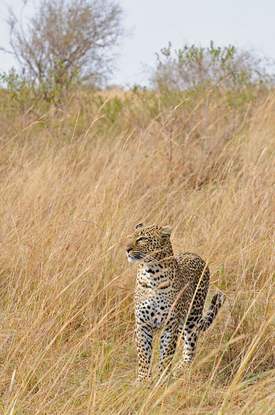 African Leopard (Panthera pardus pardus) in the grasslands of Masai Mara in Kenya, Africa