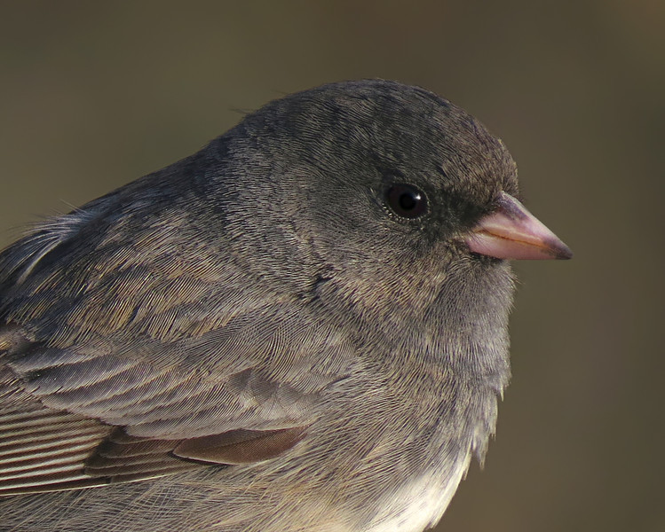 sx50_junco_portrait_011.jpg