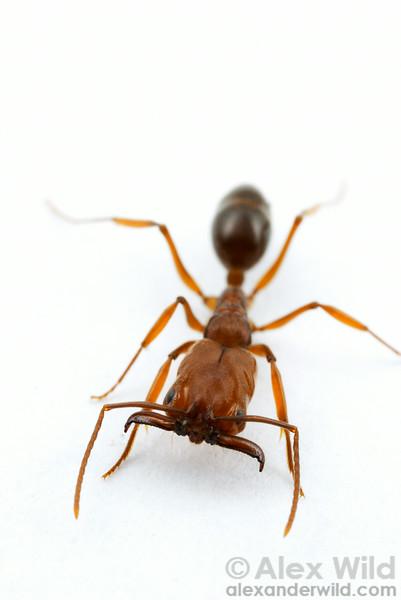 Odontomachus clarus, the desert trap-jaw ant.  Portal, Arizona, USA