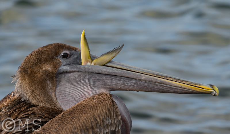 Brown Pelican Image Gallery