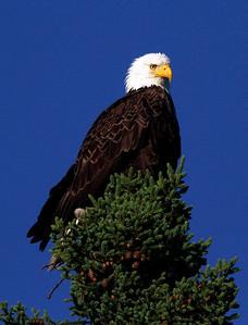 Canada eagles 2010