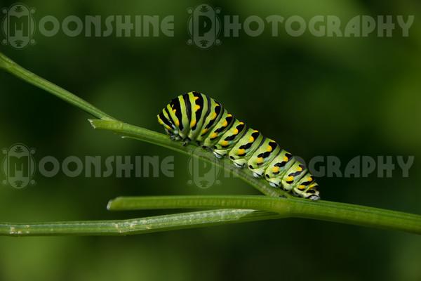 Swallowtail Caterpillars and Butterflies