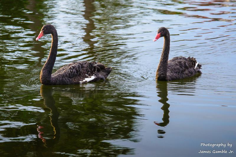 Black-Swans-1.jpg