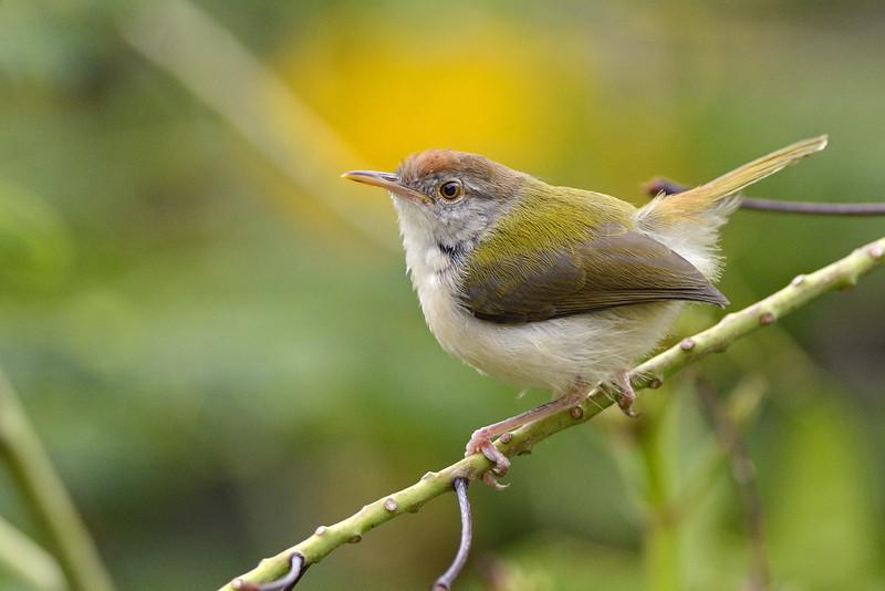 Common-Tailor-Bird-02.jpg