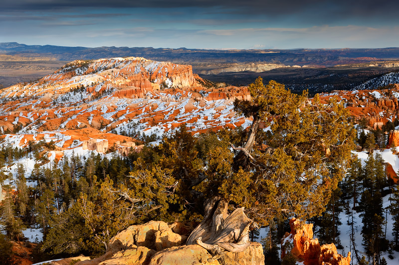 Sunset light warms a Juniper snag against a snow-covered Bryce Canyon. Bryce Canyon National Park, Utah, USA.