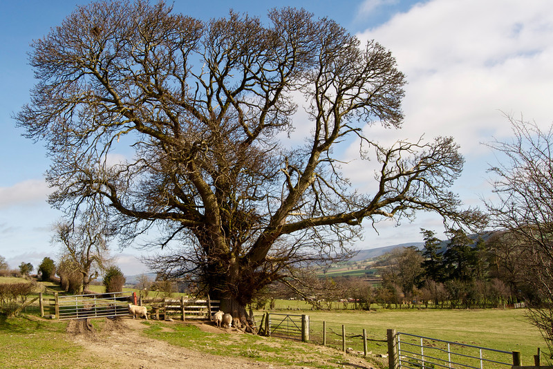Mature Tree and Sheep