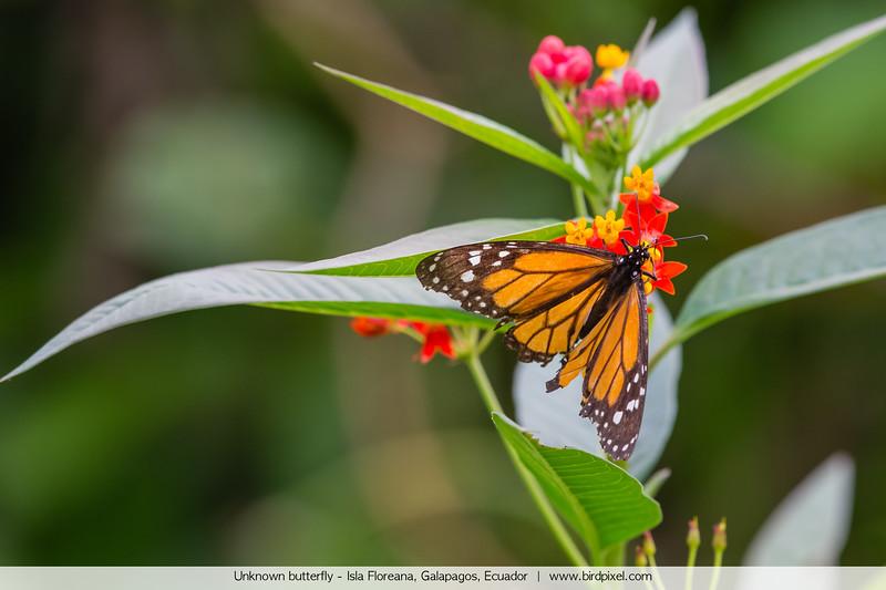 Unknown butterfly - Isla Floreana, Galapagos, Ecuador