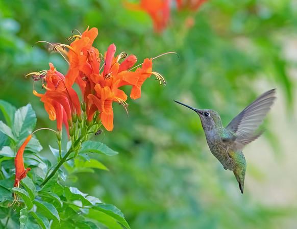 Anna's hummingbirds 2020