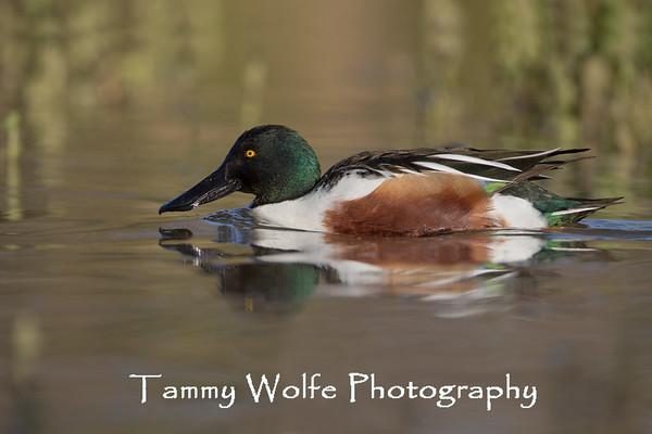 Duck, Northern Shoveler