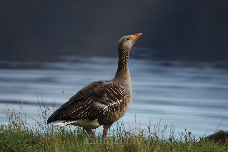 Greylag Goose walks on the ground